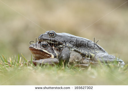 Amplexus Stock Photos, Royalty.