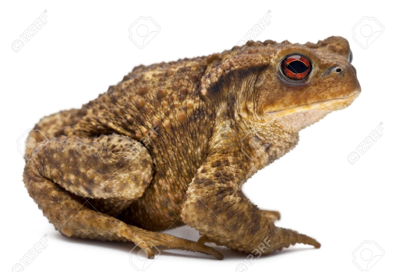 Common toad clipart.