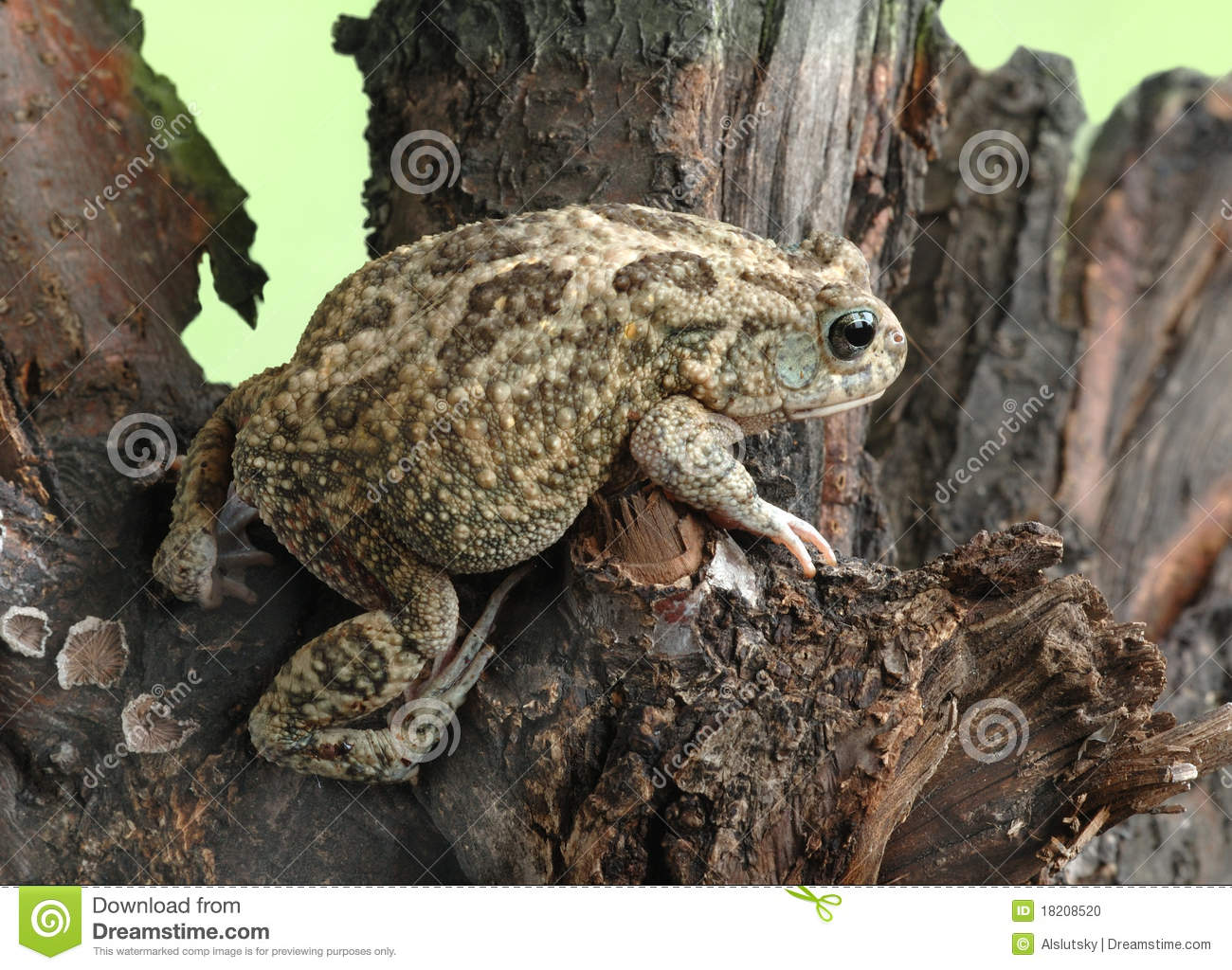 Frog Bufo Bufo Stock Photo.