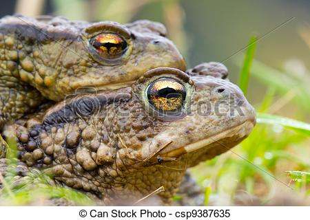 Stock Images of Amplexing couple of Common Toad (Bufo bufo) during.