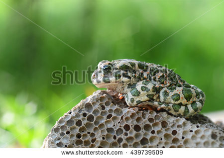 Bufo Toad Stock Photos, Royalty.