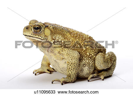 Stock Photo of Toad (Bufo Melanostictus), against white background.
