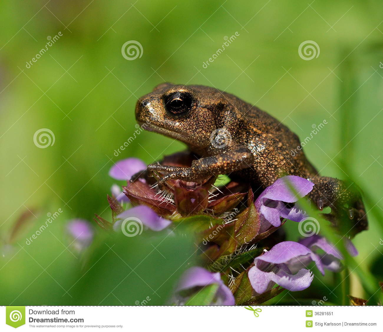 Baby Common Toad Bufo Bufo Stock Image.