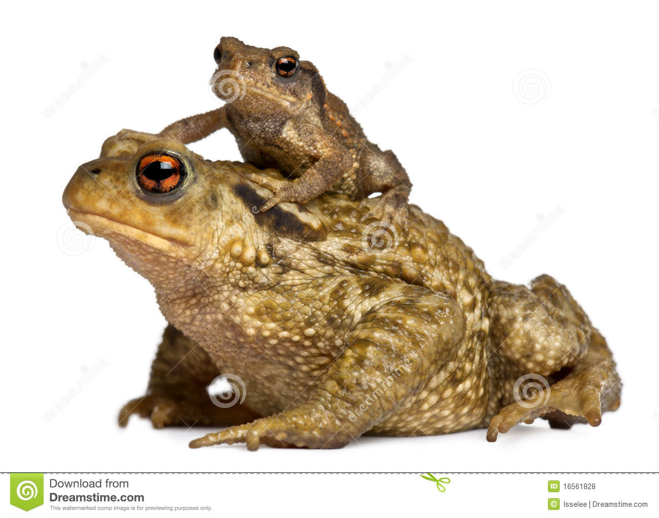 Mother Common Toad And Her Baby, Bufo Bufo Royalty Free Stock.
