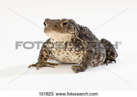 Stock Photo of Common toad.