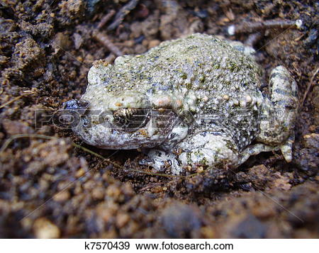 Stock Photograph of Common Toad.