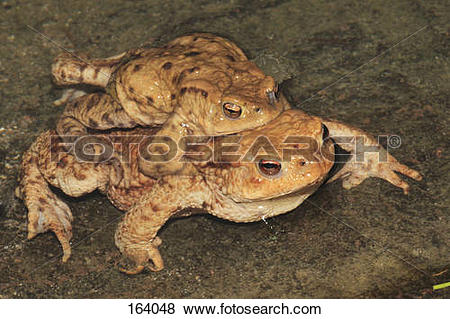 Pictures of common toads.