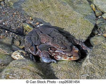 Stock Images of Toads underwater, mating in stream, with spawn.