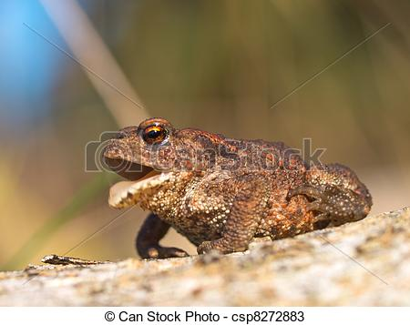 Stock Photos of Common toad Bufo Bufo croaking csp8272883.