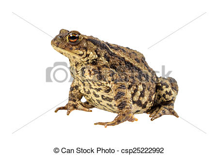 Stock Photographs of Common toad on white.