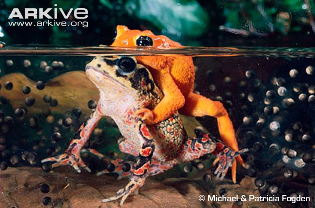 Golden toad videos, photos and facts.