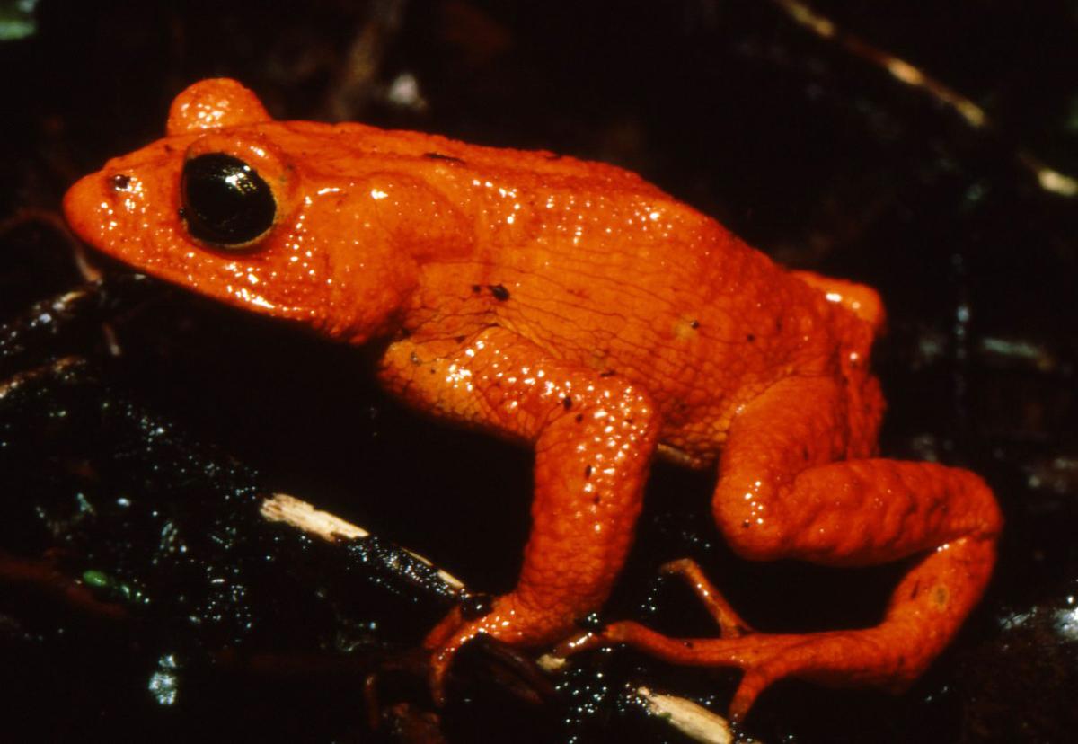 Golden Toad (Bufo periglenes).