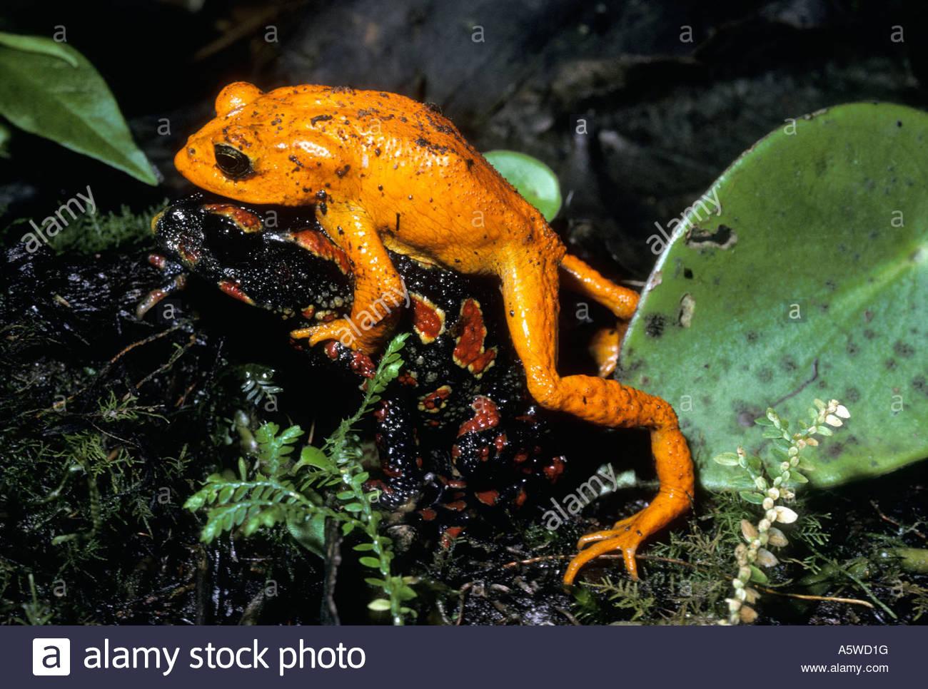 Golden Toads Bufo Periglenes Bufonidae In Amplexus In Rainforest.