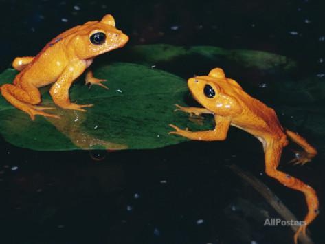 Monteverde or Golden Toad (Bufo Periglenes), Extinct, Monteverde.