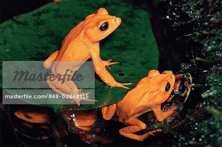 Golden Toad (Bufo periglenes) also known as Monteverde Toad.
