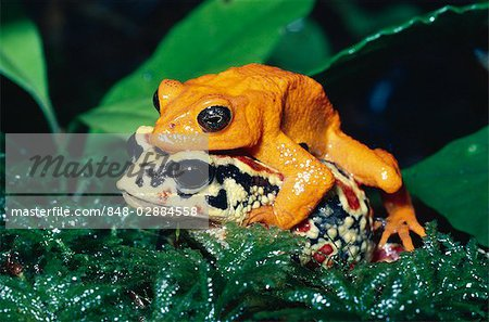 Golden Toad (Bufo periglenes) also known as Monteverde Toad, pair.
