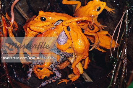 Golden Toad (Bufo periglenes) also known as Monteverde Toad, males.