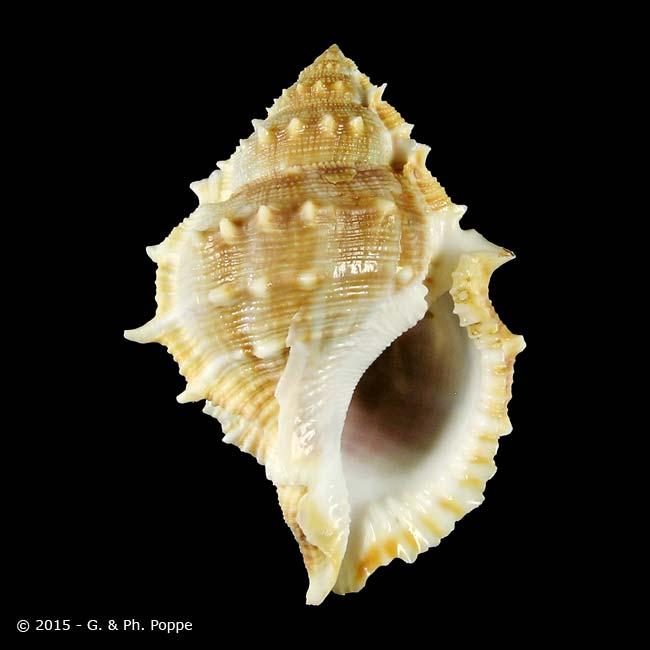 Bufonaria perelegans , Shells For Sale , Conchology, Inc..