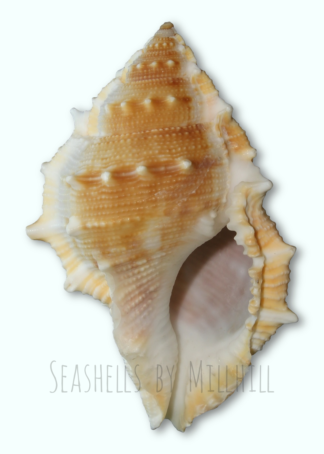 A Pretty Little Seashell.