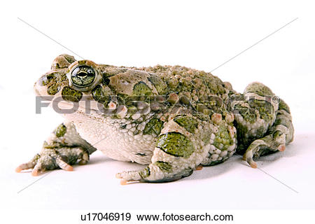Bufonidae clipart