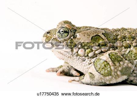 Bufonidae clipart
