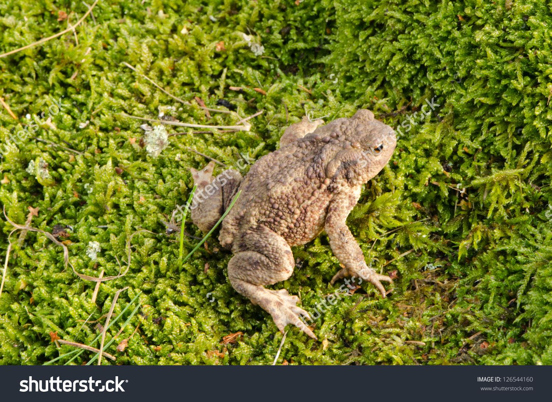 Toad Bufonidae Bufo Natterjack Hoptoad Amphibia Stock Photo.