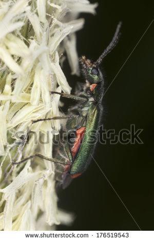 Malachite Beetle Stock Photos, Royalty.