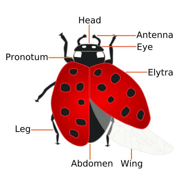 The Facts About How Ladybugs Help Humans.
