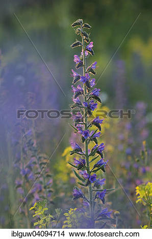 Stock Photo of Viper's Bugloss or Blueweed (Echium vulgare), Monte.