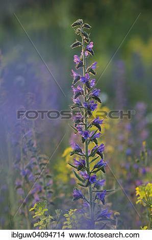 Stock Photo of Viper's Bugloss or Blueweed (Echium vulgare), Monte.