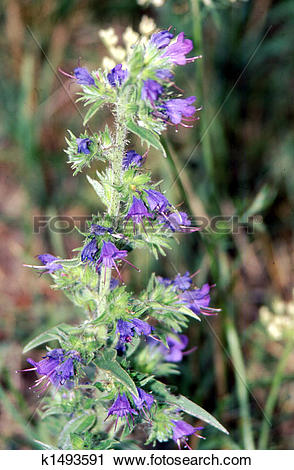 Stock Photography of Viper's Bugloss; blue weed H.