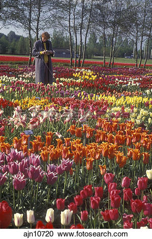 Stock Photography of Netherlands, tulips, A woman is standing in a.
