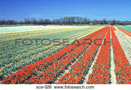 Stock Images of Rows of Tulips in Bulb Fields Leisse Netherlands.