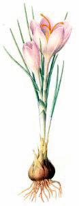 Plant Bulbs Clip Art.