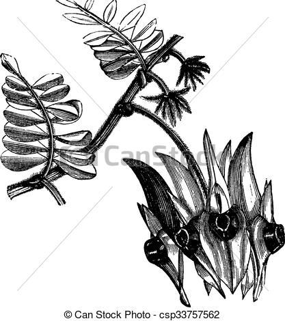 Clip Art Vector of Sturt's Desert Pea or Swainsona formosa vintage.