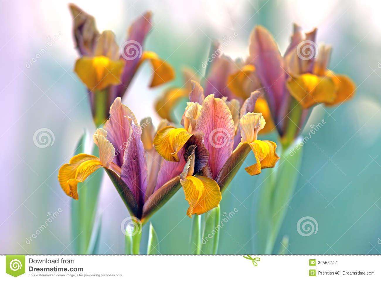Bulbous Iris Flowers Royalty Free Stock Photography.