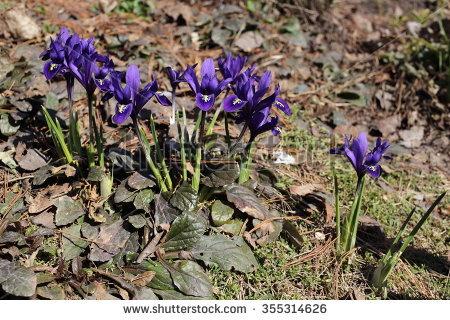 Iris Reticulata Stock Photos, Images, & Pictures.