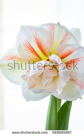 Bulbous Plants Stock Photos, Royalty.