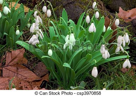 Pictures of Snowdrop flower heads.