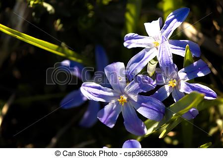 Stock Photography of Flowering plants Hionodoksa.