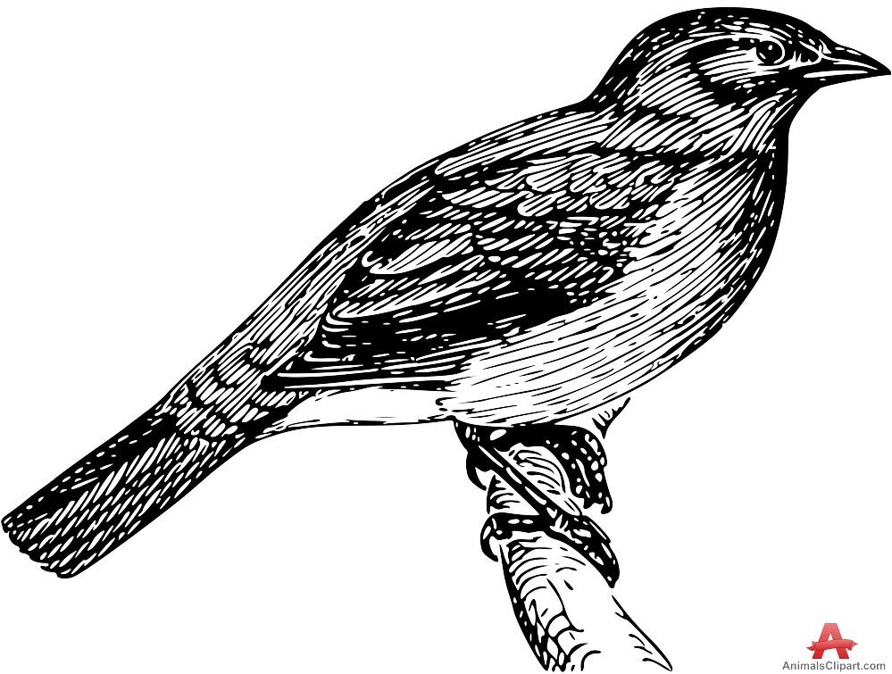 Bulbul Bird Drawing Clipart.