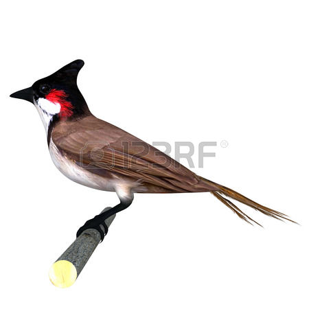 93 Bulbul Cliparts, Stock Vector And Royalty Free Bulbul Illustrations.