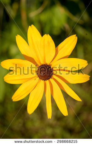 Gloriosa Daisy Stock Photos, Royalty.