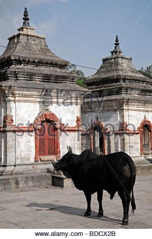 Sacred Holy Cow Black Bull Temple Shrine Courtyard Pashupatinath.
