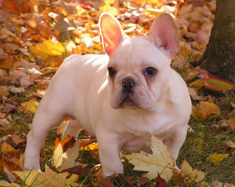 Animal General Hospital: Breeds: French Bulldogs (aka Frenchies)!!!!.
