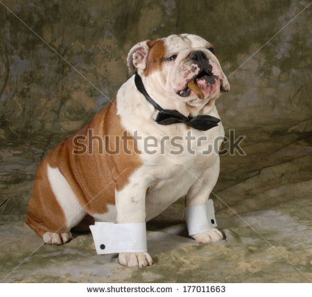Bulldog Cigar Stock Images, Royalty.