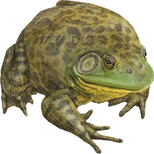 American Bullfrog clipart graphics (Free clip art.