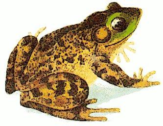 Free bullfrog Clipart.