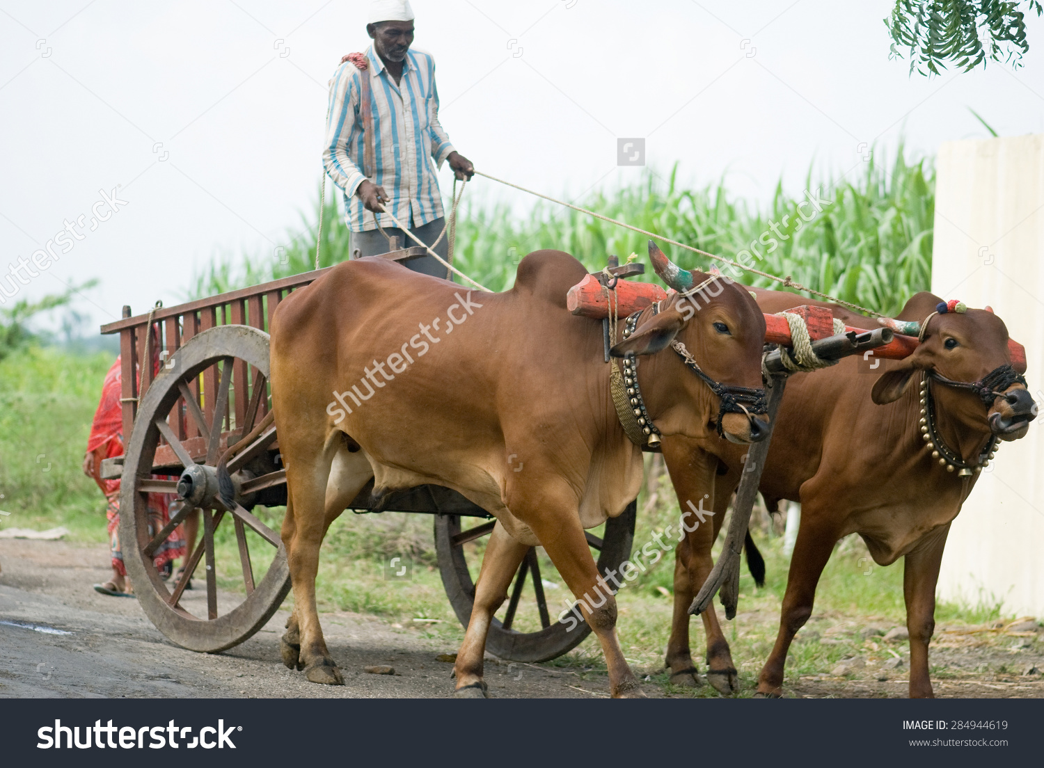 Farmer Riding Bullock Cart Rural Village Stock Photo 284944619.