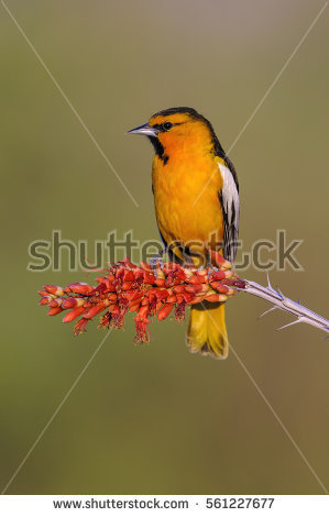 Oriole Stock Images, Royalty.